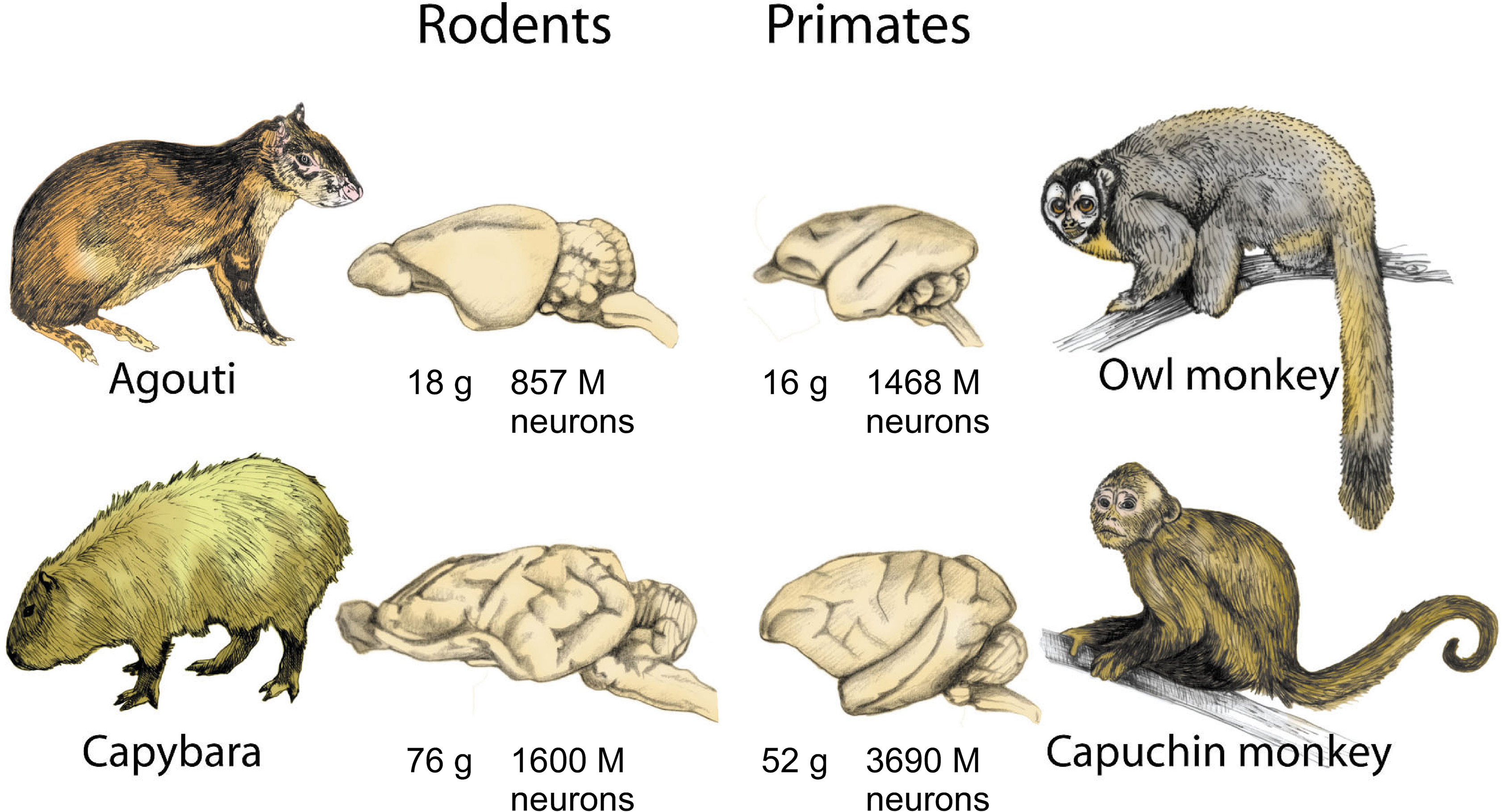 Frontiers | The human brain in numbers: a linearly scaled-up primate ...