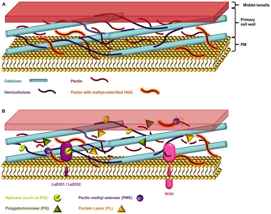 Frontiers The Role Of The Cell Wall In Plant Immunity Plant Science