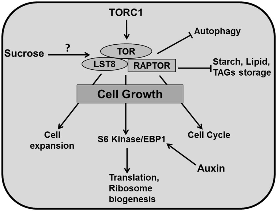 Frontiers | Leaf development: a cellular perspective | Plant Science