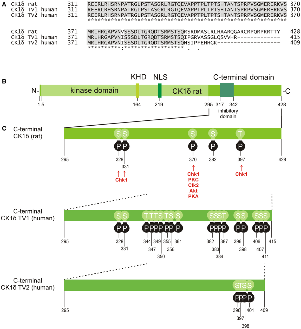 Frontiers The Ck1 Family Contribution To Cellular Stress Response 12 Lead Motor Delta Run Wiring Diagram