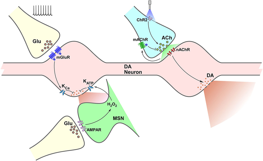 Frontiers | Local control of striatal dopamine release