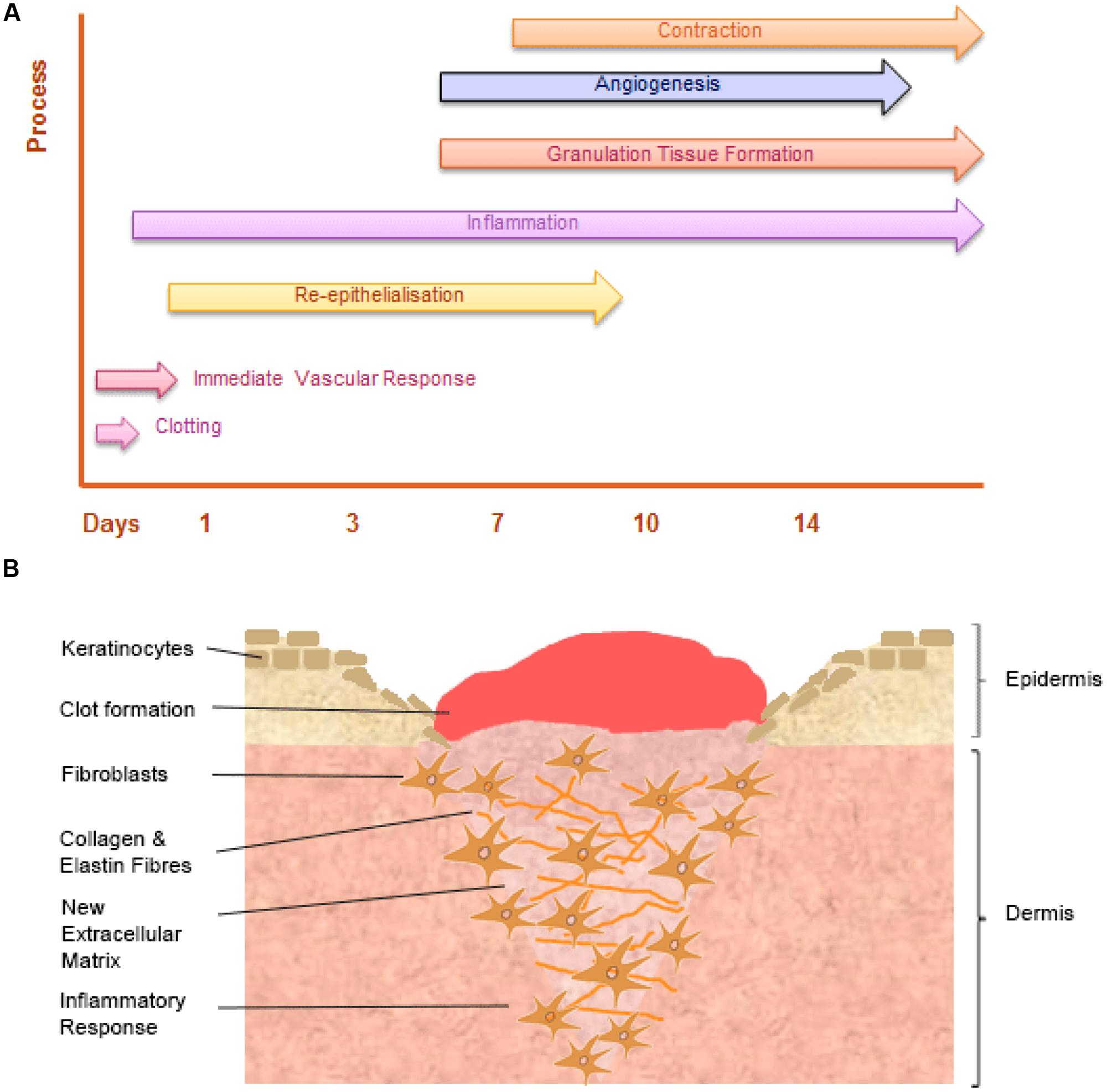 Frontiers | The role of iron in the skin and cutaneous wound healing