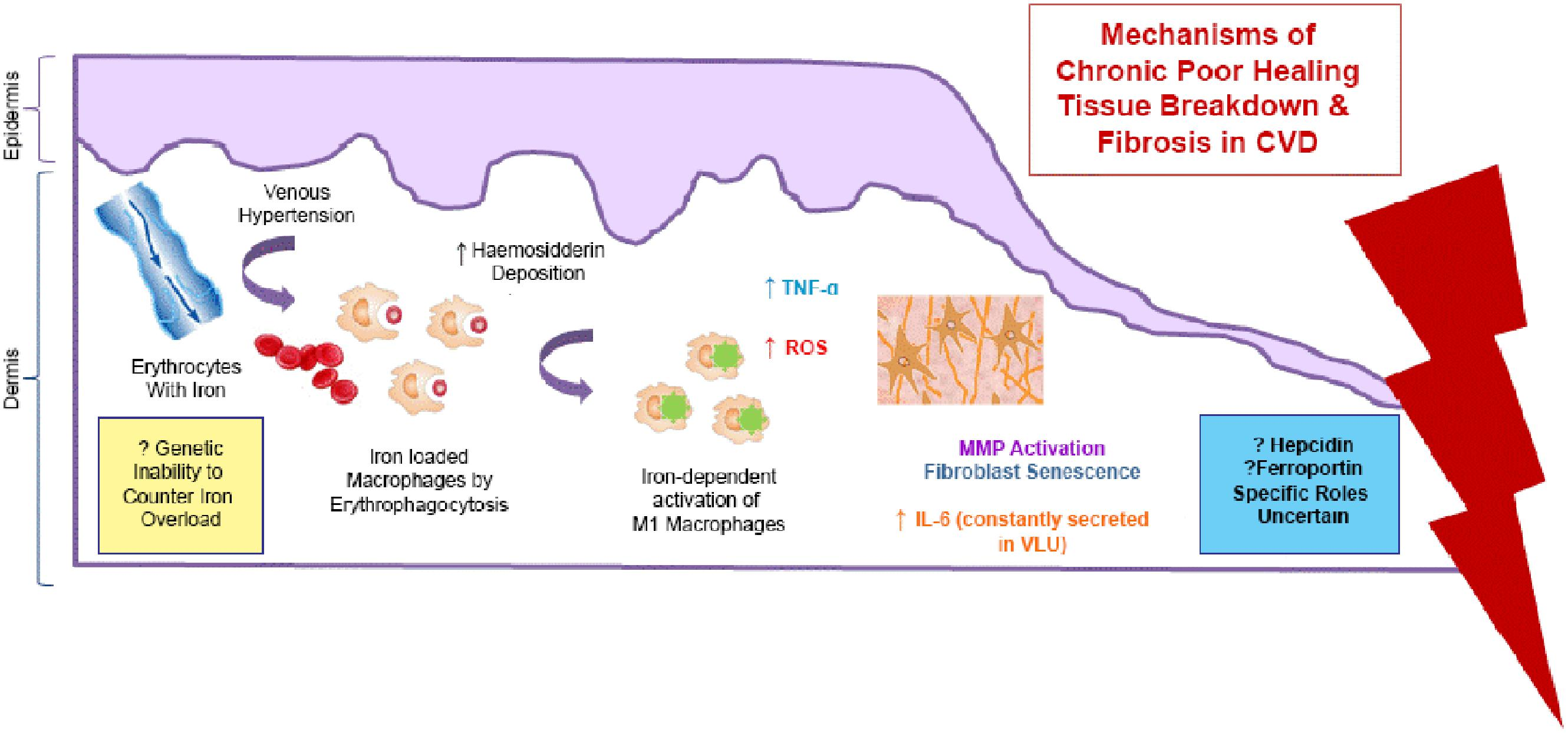 Frontiers The Role Of Iron In The Skin And Cutaneous