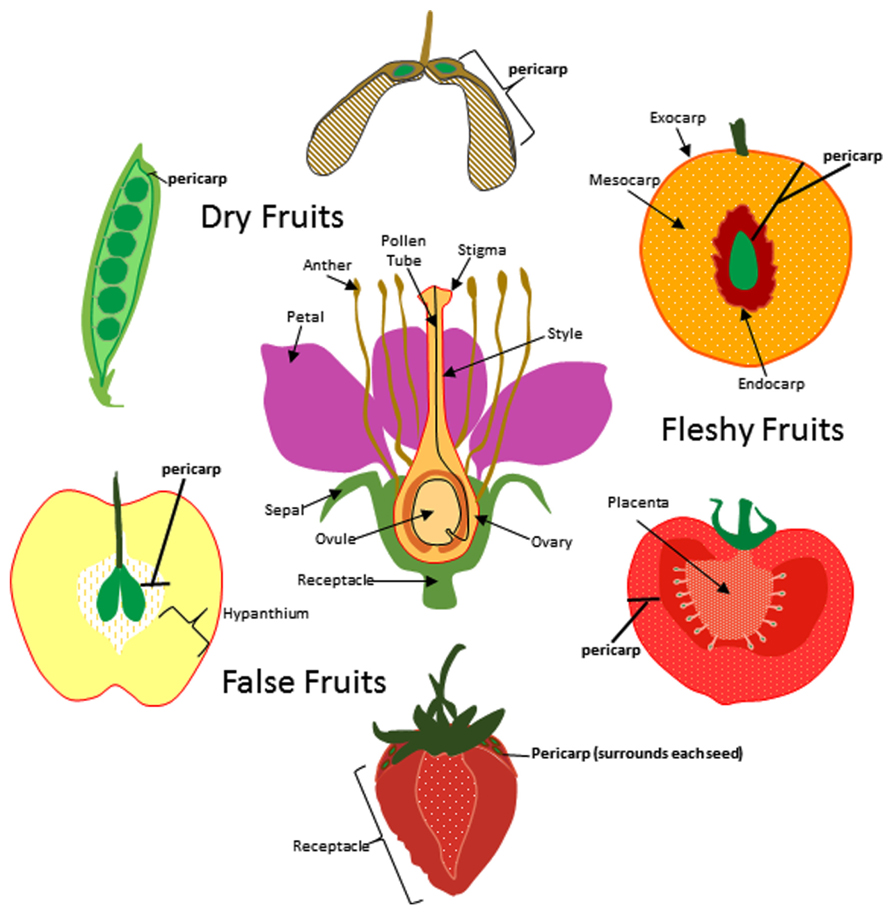 Frontiers Evolution Of The Fruit Endocarp Molecular Mechanisms