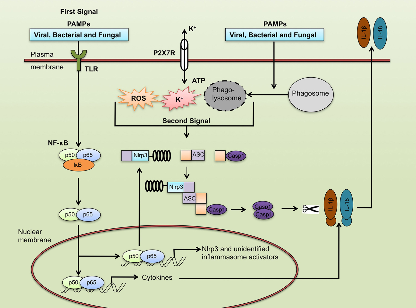 Frontiers Role Of The Nlrp3 Inflammasome In Microbial