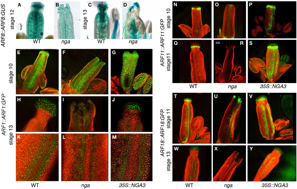 gynoecium frontiers the effect of ngatha altered activity on auxin