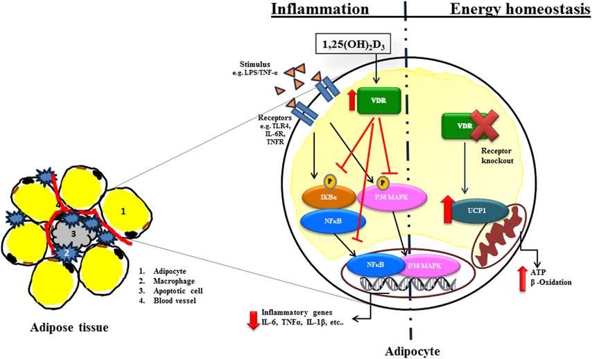 The effect of vitamin D on insulin resistance in patients with type 2 diabetes