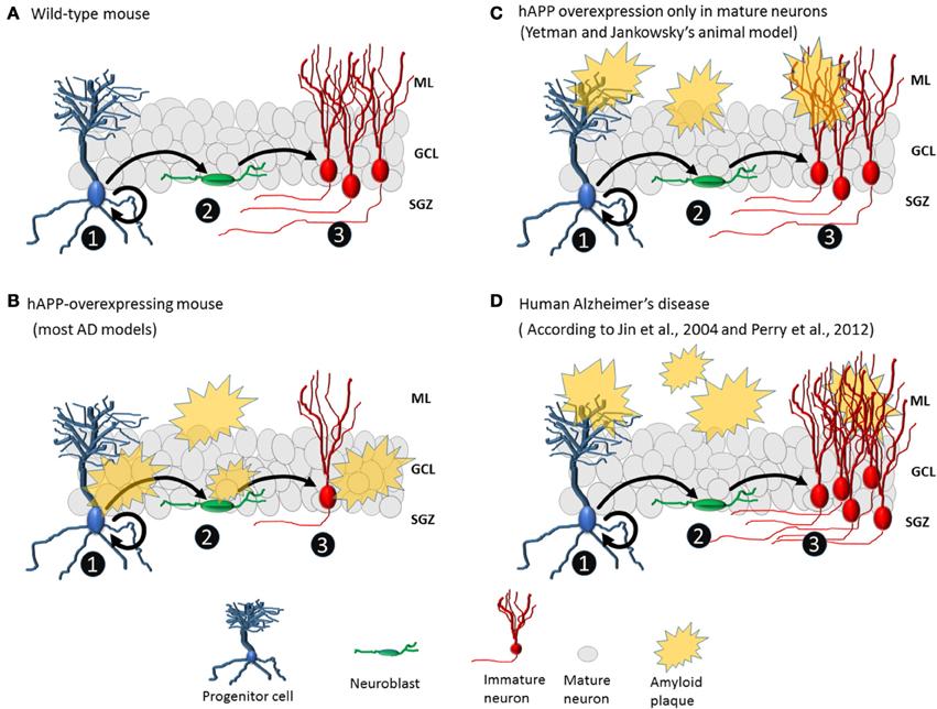 Frontiers | Reconsidering hippocampal neurogenesis in