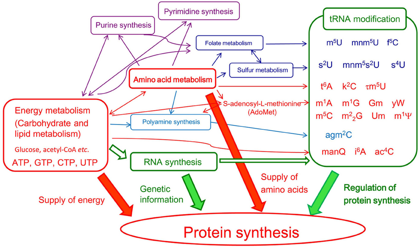 frontiers methylated nucleosides in trna and trna