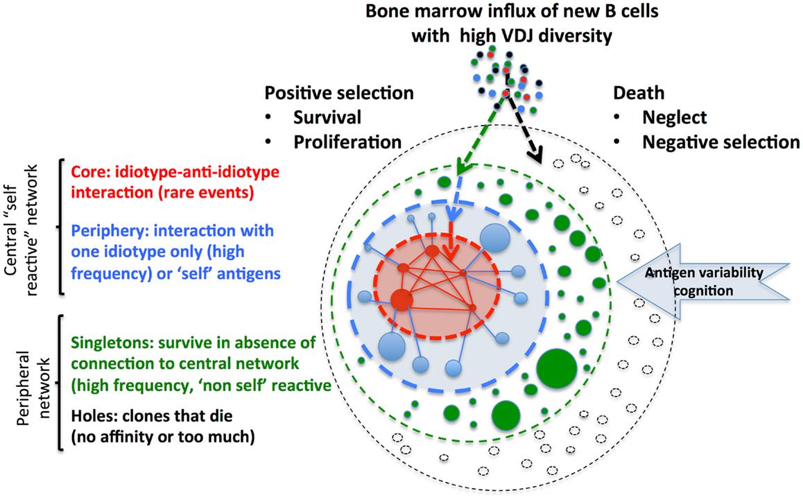 Lymphocyte Structure | www.pixshark.com - Images Galleries ...