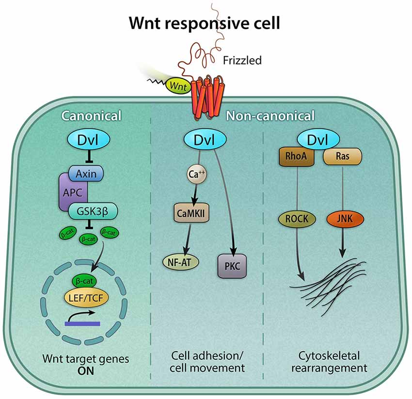 Wnt Signaling in Embryonic Development