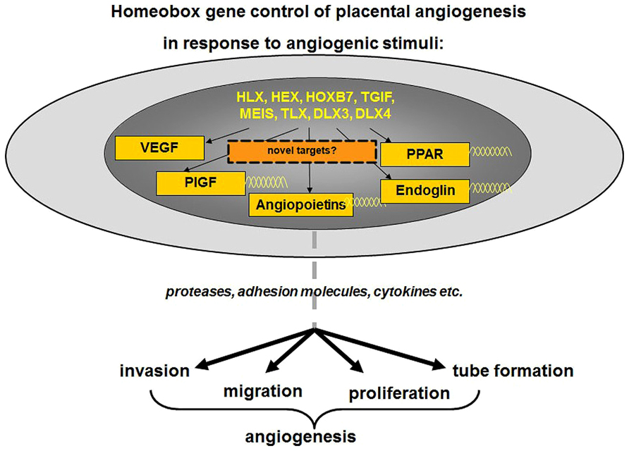 Frontiers Analysis Of Homeobox Gene Action May Reveal Novel