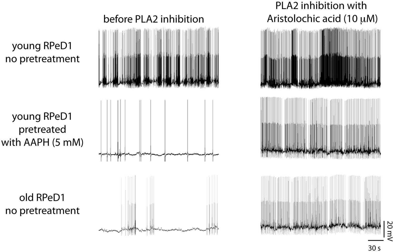 Frontiers Phospholipase A2 Nexus Of Aging Oxidative Stress Top Gt Cushman Wiring Diagrams Diagramjpg