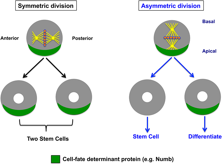 frontiers asymmetric cell division of stem cells in the lung and