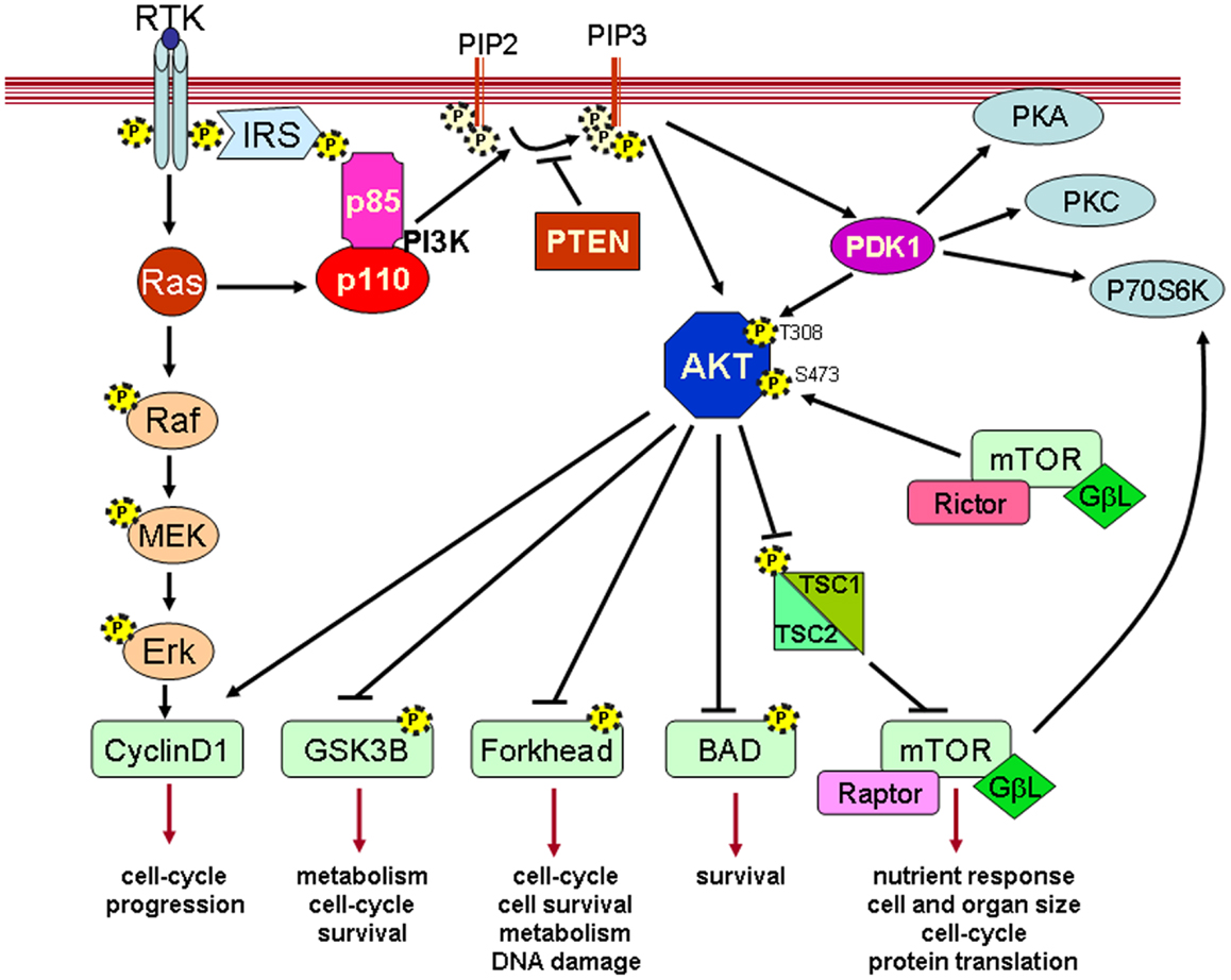 Frontiers The Pten Pi3k Akt Pathway In Vivo Cancer Mouse Models Circle M Trailer Wiring Diagram