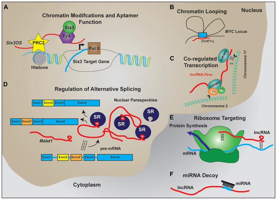 Long Noncoding Rna | lncRNA Blog