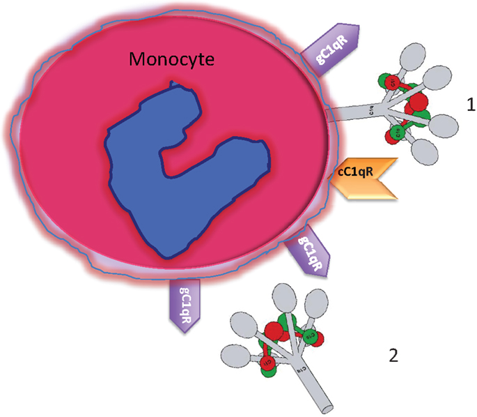 Monocyte Expressed Macromolecular C1 And C1q