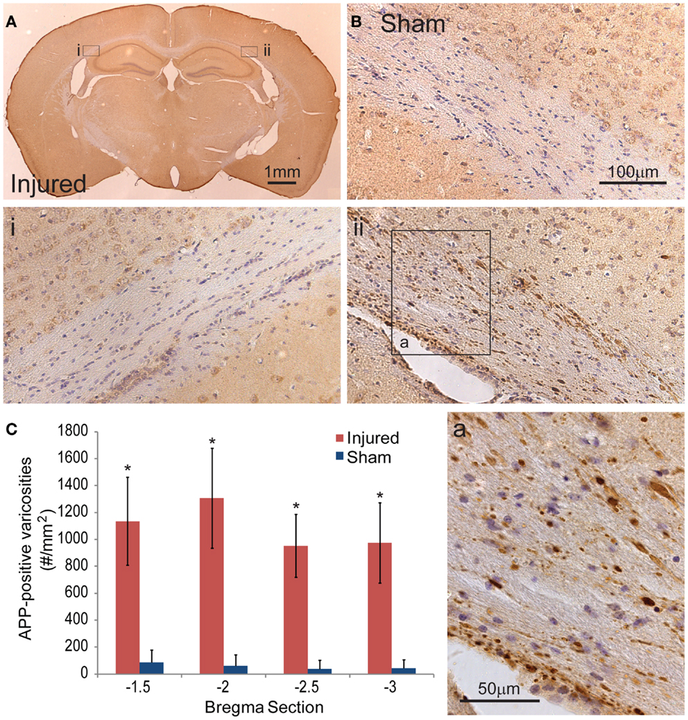 Frontiers | A Modified Controlled Cortical Impact ...