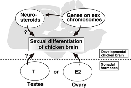 Sexual dimorphisms of the mammalian brain