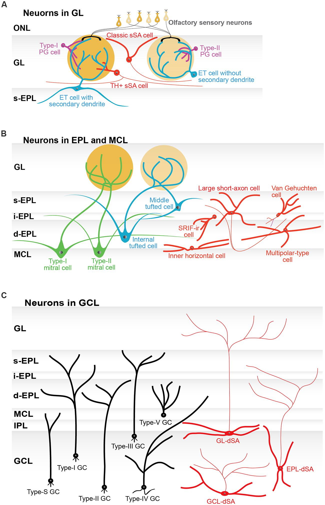 Frontiers Neuronal Organization Of Olfactory Bulb Circuits