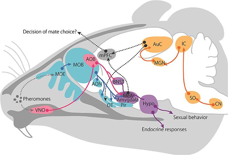 Gradual wiring of olfactory input to amygdala feedback circuits
