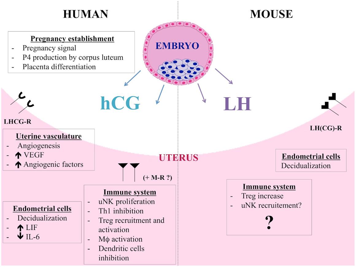 human chorionic gonadotropin h cg essay