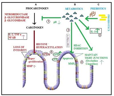 Frontiers Metabiotics One Step Ahead Of Probiotics An Insight Into Mechanisms Involved In Anticancerous Effect In Colorectal Cancer Microbiology