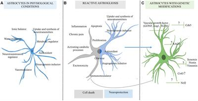 Frontiers The Role Of Astrocytes In Neuroprotection