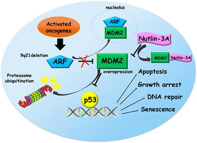 Frontiers P53 Mdm2 Pathway Evidences For A New Targeted