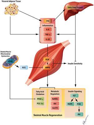 Frontiers   Systemic Regulators of Skeletal Muscle Regeneration in ...