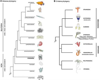 Metazoan muscle re-generation: what can we learn from diversity ...
