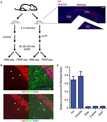 Gene Expression Patterns May Underlie >> Frontiers Mapping Gene Expression In Excitatory Neurons During