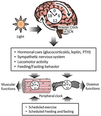 Frontiers   The Role of Circadian Rhythms in Muscular and Osseous
