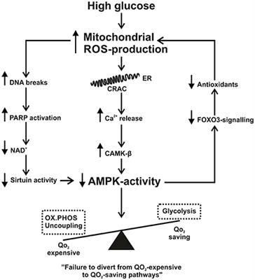 Frontiers Mitochondrial Reactive Oxygen Species And Kidney