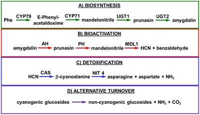 Frontiers | Cyanogenic Glucosides and Derivatives in Almond