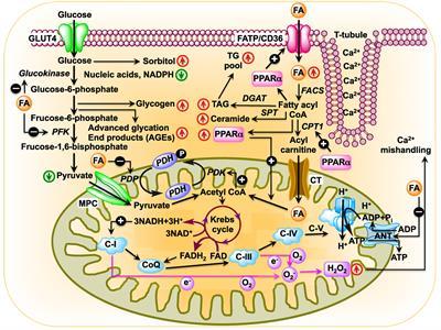Frontiers Diabetic Cardiomyopathy An Immunometabolic