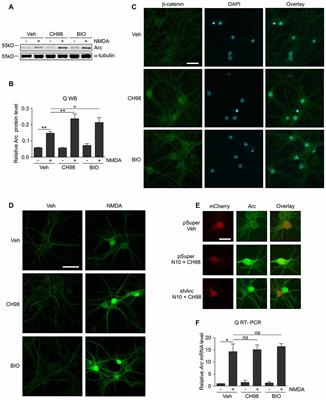 Frontiers | GSK3α and GSK3β Phosphorylate Arc and Regulate