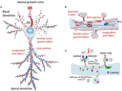 Types Of Email Accounts >> Frontiers | Dendritic Actin Cytoskeleton: Structure ...