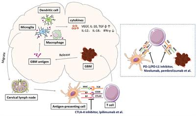 Frontiers | Immune Checkpoint in Glioblastoma: Promising and