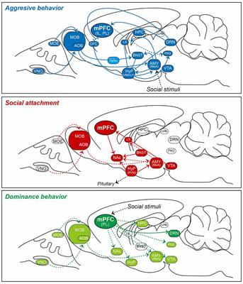 Frontiers | Neuroanatomical Substrates of Rodent Social ...