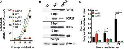 Frontiers | US6 Gene Deletion in Herpes Simplex Virus Type 2