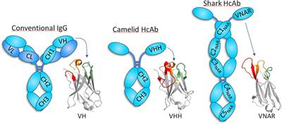 Frontiers | Single-Domain Antibodies As Versatile Affinity Reagents for  Analytical and Diagnostic Applications | Immunology