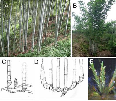 Frontiers | Flowering of Woody Bamboo in Tissue Culture