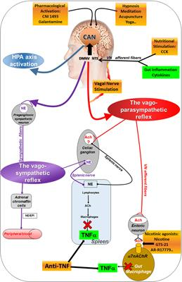 Frontiers The Vagus Nerve In Neuro Immune Axis Implications Pathology Of Gastrointestinal Tract Immunology