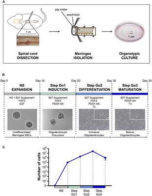 Frontiers | High Yield of Adult Oligodendrocyte Lineage