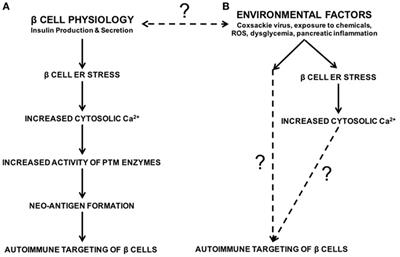 Environmental Factors Contribute to β Cell Endoplasmic Reticulum Stress and Neo-Antigen Formation in Type 1 Diabetes