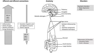 Frontiers | Vagus Nerve as Modulator of the Brain–Gut Axis