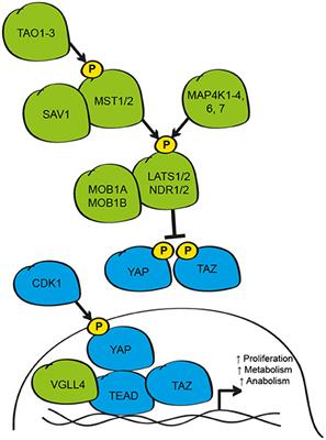 Frontiers | Regulation of Tissue Growth by the Mammalian