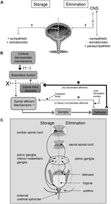 Frontiers | PACAP/Receptor System in Urinary Bladder ... on