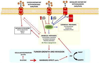 Frontiers   Palmitic Acid: Physiological Role, Metabolism